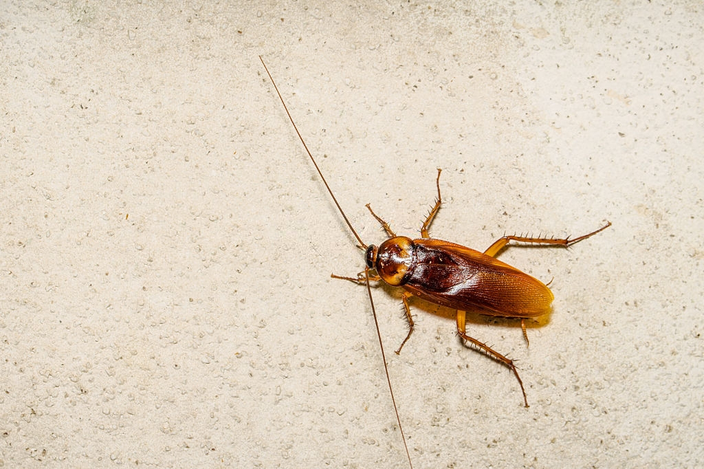 Cockroach Control, Pest Control in Becontree Heath, Becontree, RM8. Call Now 020 8166 9746