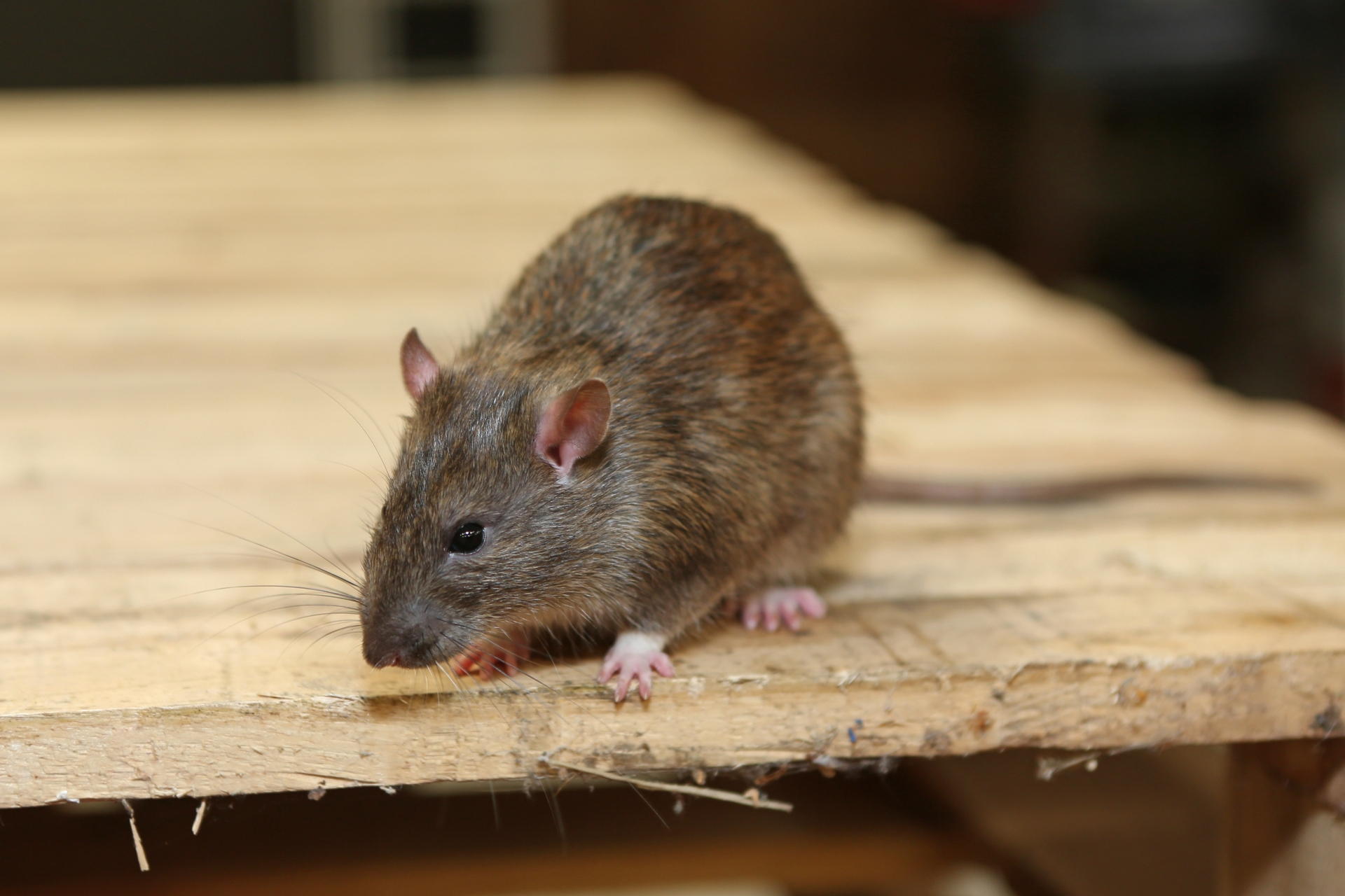 Rat extermination, Pest Control in Becontree Heath, Becontree, RM8. Call Now 020 8166 9746